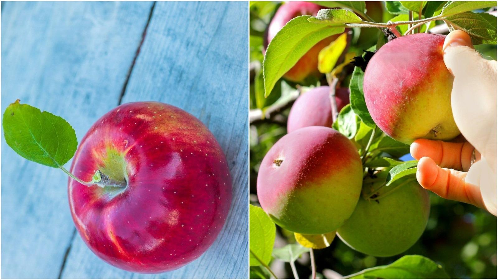 Cortland Apple Tree (3-4') - Home Gardening Outdoor Living - $79.99