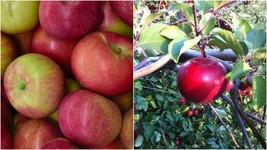McIntosh Apple Tree (3-4') - Home Gardening Outdoor Living - $79.99