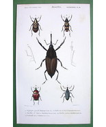 BEETLES Coleoptera Calandra Diaprepes - H/C SUP... - $19.78