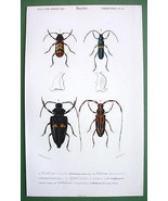 BEETLES Colepoptera Collichroma - H/C SUPERB Co... - $19.78