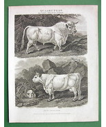 BULL Cow Calf - 1807 Antique Print Engraving by Abraham REES - $21.78