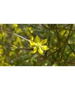 Organically grown Lance Leaf Loosestrife, (Lysimachia lanceolata) - $3.50