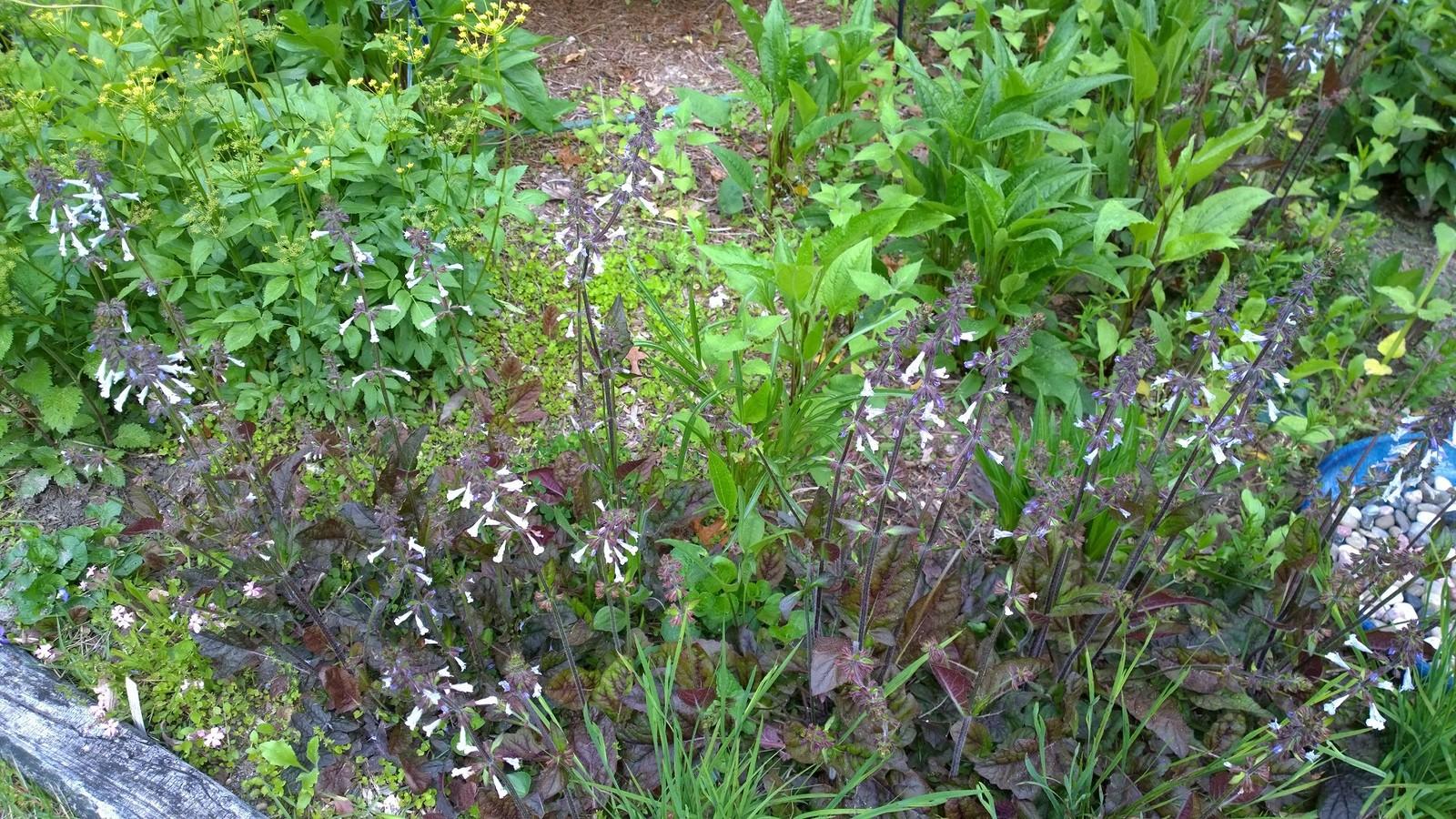 Organic Native Plant,Lyre leaf Salvia, Salvia lyrata