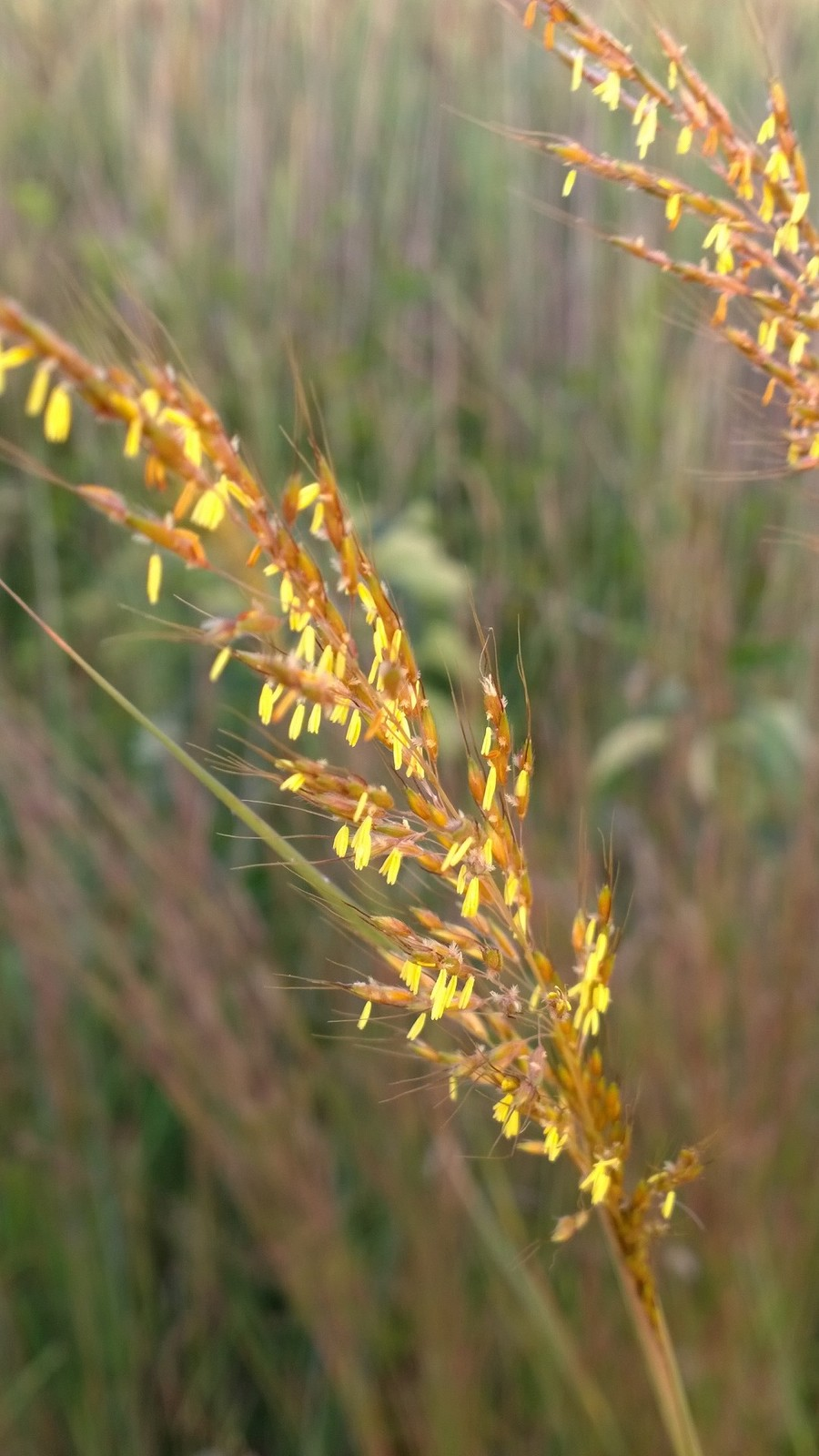 Organic Native Plant, Indian Grass, Sorghastrum nutans