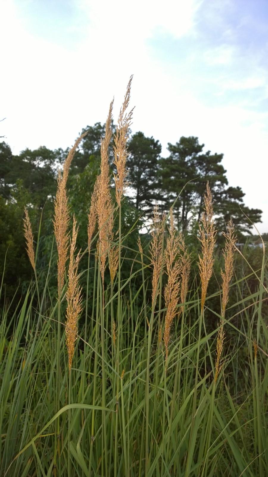 Organic Native Plant, Indian Grass, Sorghastrum nutans
