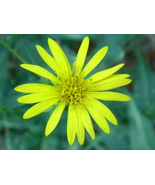 Organic Maryland Golden Aster, Chrysopsis maria... - $3.50