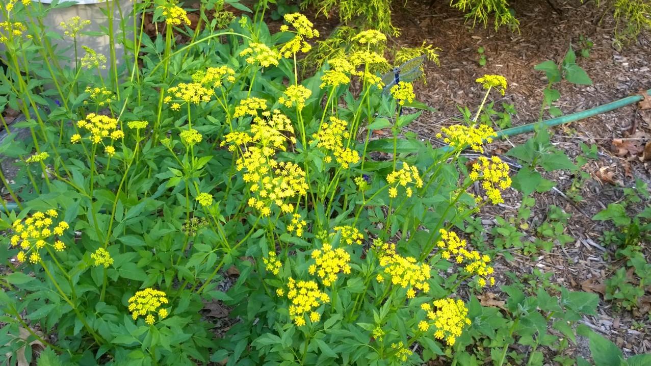 Organic Golden Alexanders, (Zizia aureus) Butterfly host plant!