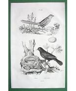BIRDS Fairywren Blackbird - 1836 Natural Histor... - $9.41