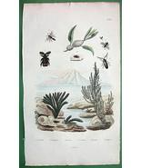 BEETLES Frog Hopper Ceramium algae - 1836 H/C C... - $13.86