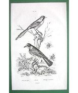 BIRDS Thrush Narcissus Fly Titmouse - 1836 Natural History Print - $9.41