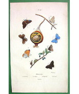 BUTTERFLIES Polyommatus - 1836 H/C Color Natural History Print - $13.86