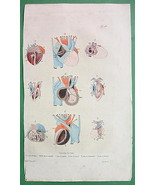 HEART Anatomy of Fetus Lizard Snake Fish - 1836... - $13.86