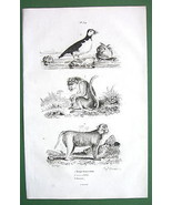 MONKEY Lion Tailed & Bandar Puffin Bird - 1836 Natural History Print - $9.41