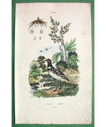 RHUBARB Flower Greater Snipe Bird - 1836 H/C Co... - $13.86