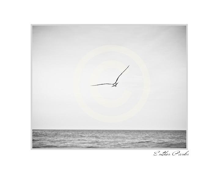 'Take Flight' (Bird flies over Ocean) Fine Art Print - 8x10 print matted to11x14