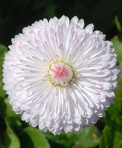 500 Super Enorma Double - English Daisy Bellis Flower Seeds - $7.99
