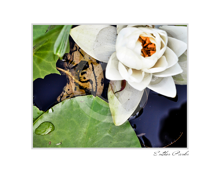 'Water Lily' (white flower on lake) Fine Art Print - 8x10 print matted to11x14