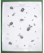 ENTOMOLOGY Beetles Leaf !! Antique Print A. REE... - $14.84