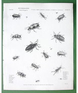ENTOMOLOGY Beetles Lytta !! Antique Print A. RE... - $14.84