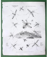 ENTOMOLOGY Insects Gadfly !! Antique Print A. R... - $14.84