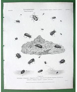 ENTOMOLOGY Beetles Spider !! Antique Print A. R... - $14.84