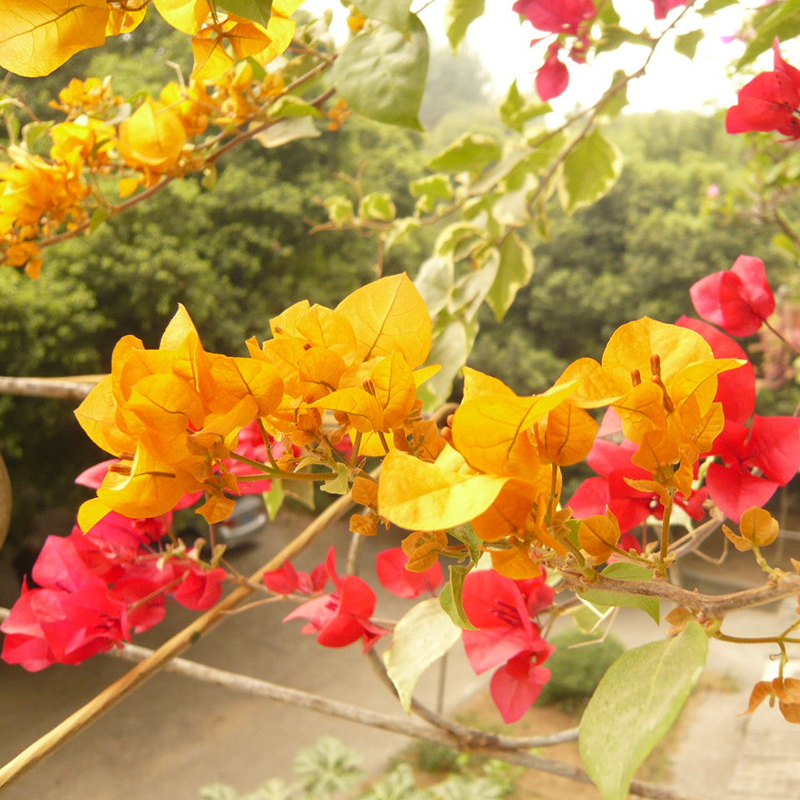 New Real Blooming Plants Yellow Bougainvillea Spectabilis ...