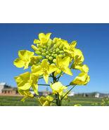 900 Bulk Seeds Rapeseed Vegetable Rape seed Garden Flowers Yellow - $7.88