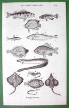 FISHES Ray Fish Eel Sea Life - 1852 Original Steel Engraving Print Antique - $9.41