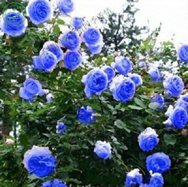 30 Seeds /Pack, Flower Seeds Bonsai seeds Rare Blue Climbing Rose Seeds