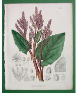 ORIENTAL RHUBARB Rheum Australe Plant Flower - ... - $27.72
