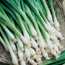500 Fresh Seeds - Bunching Onion - Tokyo Long White Onion - $12.18