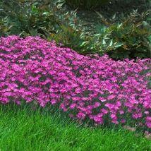 Flower Seeds 4 Variety Dianthus Gratianopolitanus #IMA47 - $14.99+