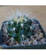 Echinocactus grusonii White Spines Golden Barre... - $8.41