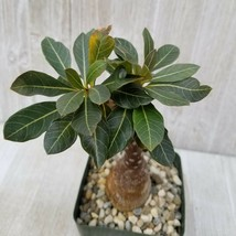 Adenium socotranum Desert Rose Cactus Cacti Succulent Real Live Plant - $68.99