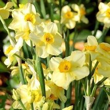 10 Bulbs of Narcissus Grand Primo - $37.52