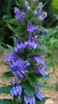 Organically-grown Native Plant, Blue Lobelia, Lobelia syphillitica - $3.50