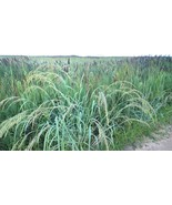 Coastal Panic Grass, Panicum amarum, salt  and sand tolerant beach dweller - $3.50