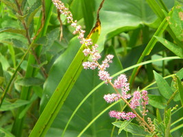 Organic Steeplebush, Spirea tomentosa, Host plant, Butterflies, Birds. - $10.00