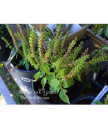 Organic Tulsi Rama, Holy Basil Seeds  - - $2.99