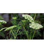 Organic Khella, Ammi Visnaga Seed - Treats Allergies/ Asthma/Hayfever - $2.99