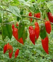 RED,HOT LANTERN HABANERO PEPPER- (30 SEEDS) Easy to grow,mature Early ! - $1.91