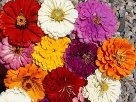 SHIP FROM US 750 California Giants Zinnia Mix Seeds, ZG09 - $19.96