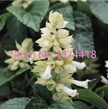 bonsai 40seeds/pack White Salvia Sage Flower/Drought Tolerant Deer  - $2.99