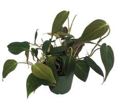 """Philodendron Live Plant Velvet Bronze Sheet Small Vineyard 4""""Pot Flower ... - €17,36 EUR"""