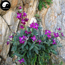 Buy Matthiola Incana Flower Seeds 400pcs Plant Flower Matthiola Incana - $15.99