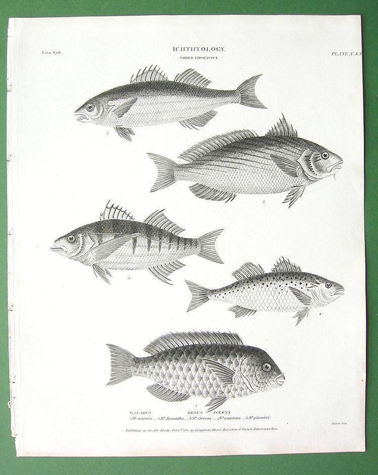 FISHES Ichthyology Sciaena Corvina Parrot - 1820 Original Antique Print