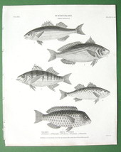 FISHES Ichthyology Sciaena Corvina Parrot - 1820 Original Antique Print - $13.05