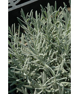 Lavender Province 4 starter plants free shipping - $17.75