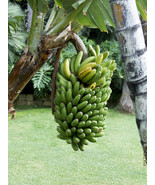 Live Plant Manzano Banana Tree (Apple Banana) Live Plant - Musa - Outdoo... - $70.99