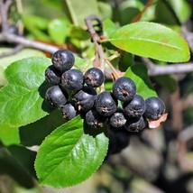 Aronia melanocarpa  Chokeberry Viking Plant - $26.59